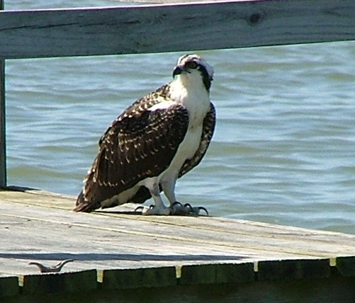 This osprey takes a break from a busy day of fetching fish to simply sit on the dock of the bay...THE CHESAPEAKE TODAY photo