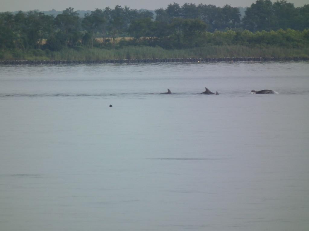 School of Dolphins heading into Breton Bay from Potomac
