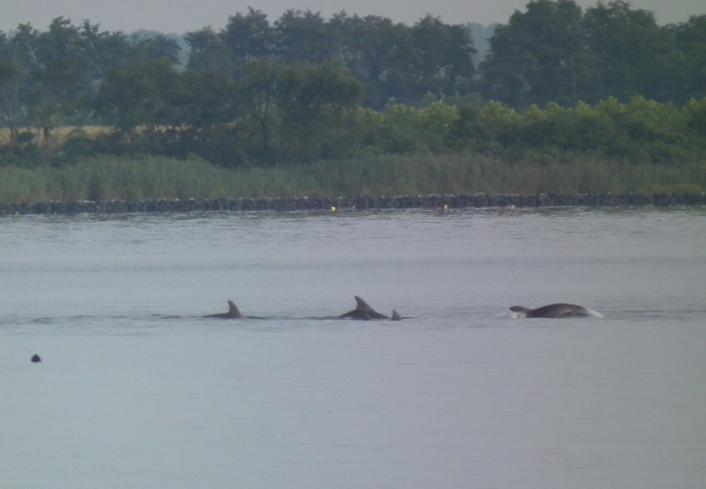 School of Dolphins heading into Breton Bay from Potomac  close up.  THE CHESAPEAKE TODAY photo