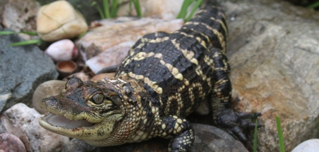 Suitland resident charged with harboring a two-foot alligator in his apartment.